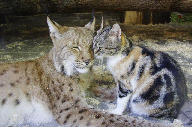 Когда рыси Линде было около 2 месяцев, сотрудники зоопарка выбрали домашнего котенка такого же возраста и похожего окраса.