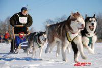 Езда в собачьих упряжках традиционно является северным видом спорта.