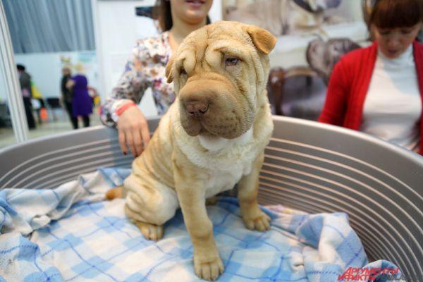 1500 участников из 40 городов России и зарубежных стран привезли в Пермь более 300 пород собак.