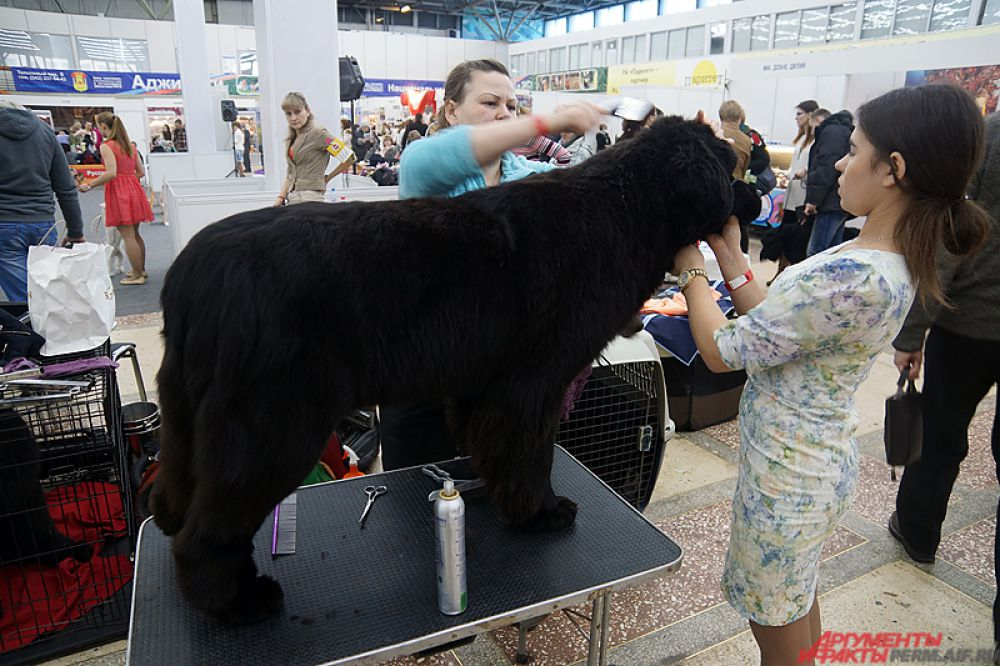 На территории выставки работают грумеры - парикмахеры для собак.