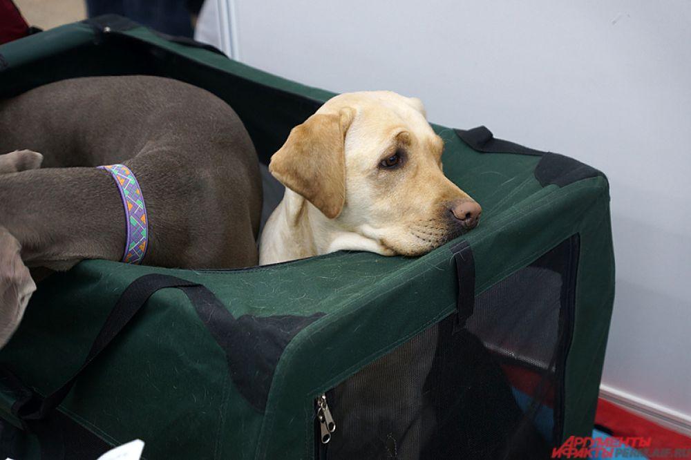 Часть собак отдыхает перед баталиями в уютных мешочках.