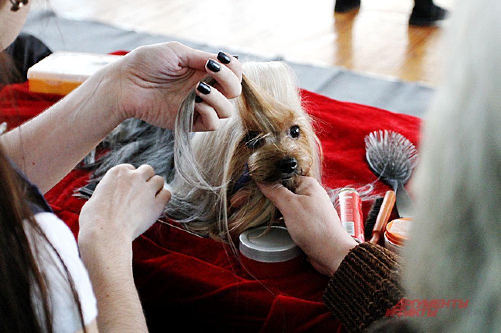 Главные приготовления шли у собак с богатой шевелюрой.
