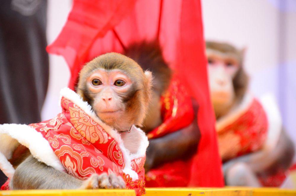 Обезьяны в традиционных костюмах готовятся к выступлениям, Ханчжоу, Китай.