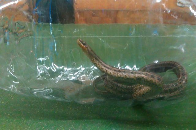 О том, как змея попала в квартиру, пока предположений нет.