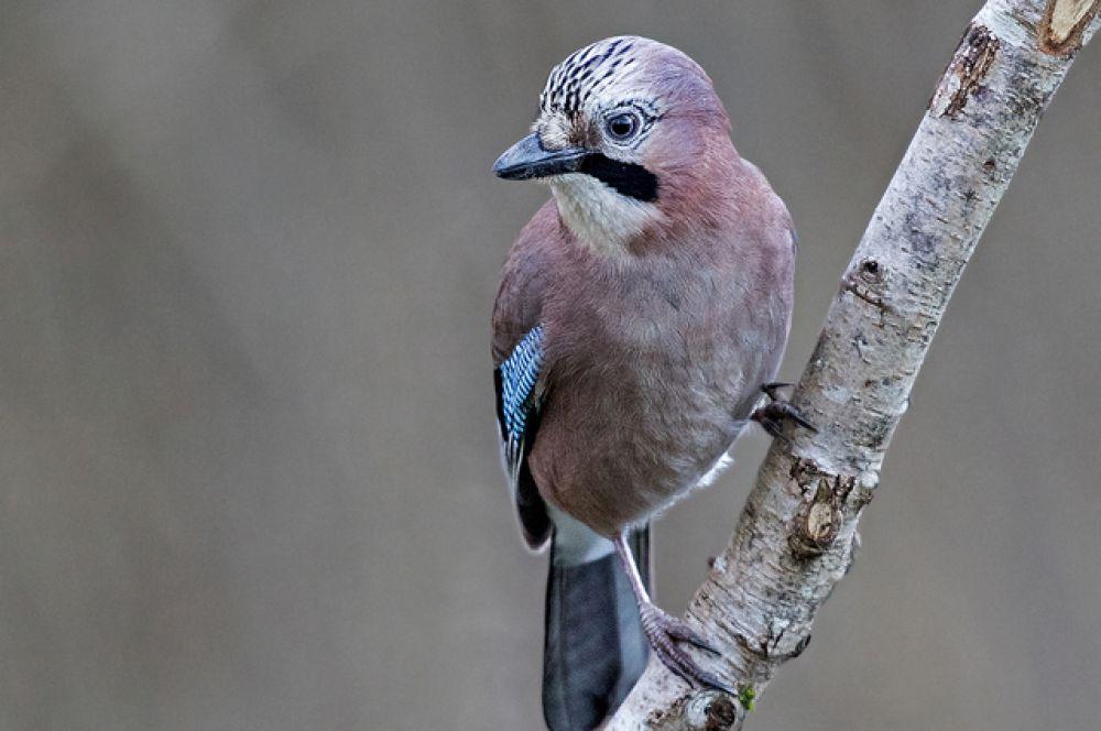 Сойки способны грустить, когда умирают их друзья. Они поют и летают над погибшей птицей, что, по мнению исследователей, может быть признаком печали.