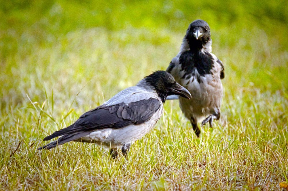 Вороны утешают сородичей после боя: они сидят рядом с пострадавшими птицами, соприкасаясь с ними крыльями.
