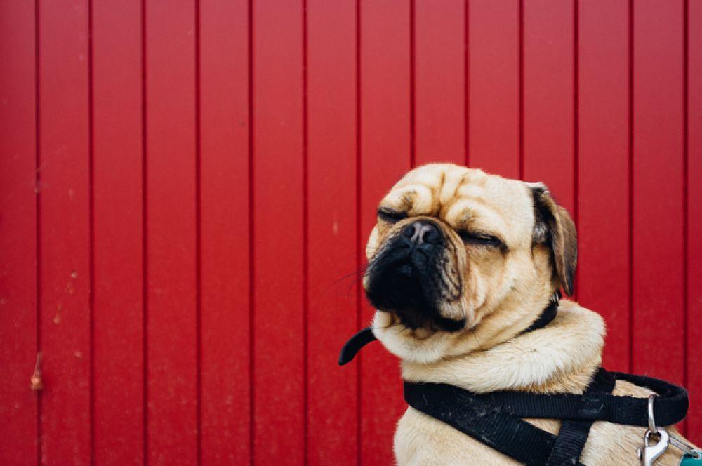 Собаки способны угадывать эмоции своего хозяина, то есть могут быть чуткими.