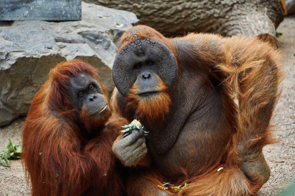 Орангутаны улавливают настроение других особей: когда один начинает смеяться, другие часто к нему присоединяются.