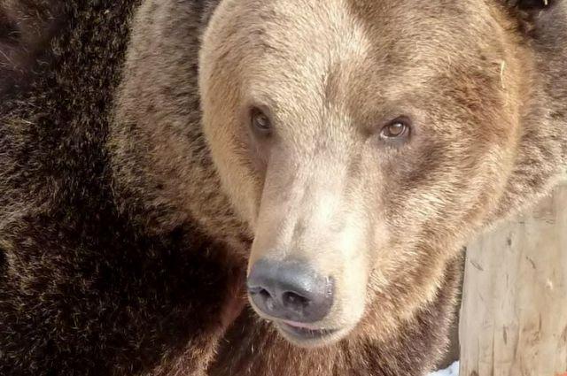 Любимица посетителей челябинского зоопарка медведица Бусинка - опасный хищник.
