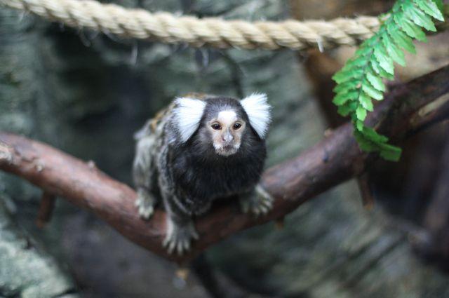 Игрунки стали символом наступившего года в Калининградском зоопарке.