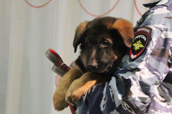 В память о погибшей собаке в МВД России решили подарить Франции щенка Добрыню, который должен заменить Дизеля на службе. В настоящее время Добрыня воспитывается в центре подготовки кинологических подразделений Национальной полиции.