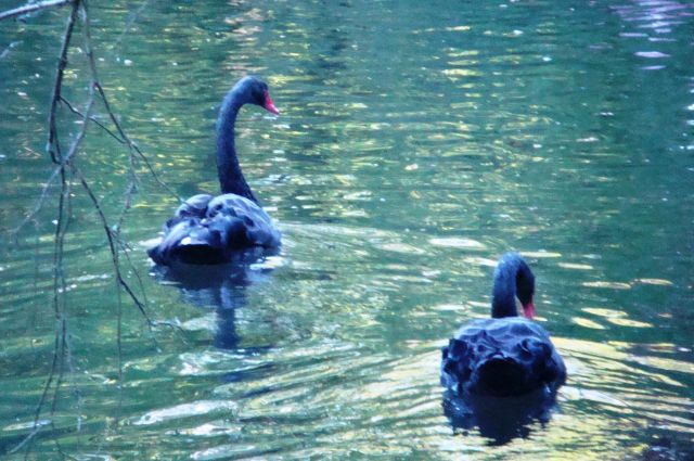 Черные лебеди приветствуют друг друга голосом, сопровождая это поднятием и опусканием головы