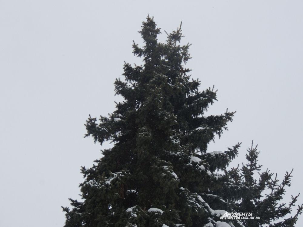 Ели покрыты снегом.
