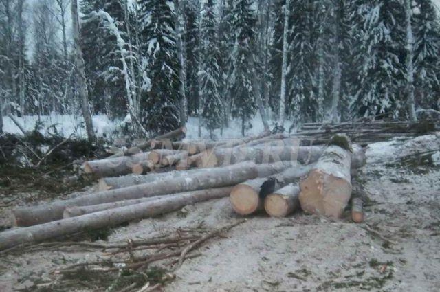 По факту незаконной рубки деревьев возбуждено уголовное дело.