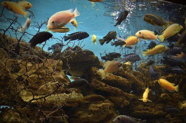 На фото - цихлиды озера Малави.