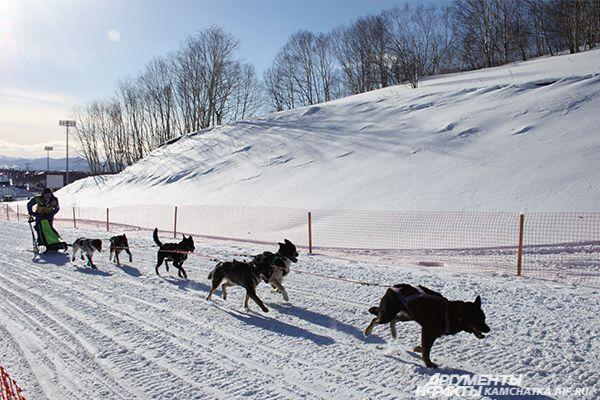Многие ребята участвуют в соревнованиях уже не первый раз. Дети в возрасте 8-13 лет управляли нартой с двумя собаками, у юниоров 14-18 лет в упряжке было четыре собаки.