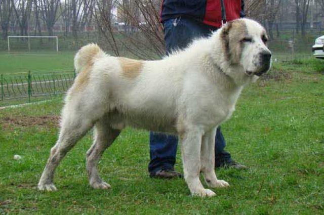 Порода брошенного пса - алабай