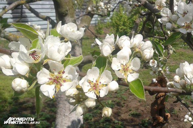 250 гектаров садов высадят в 12 районах Калининградской области.