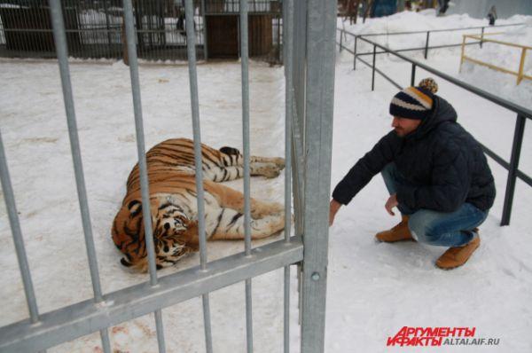Тигр Лотос подружился с сотрудниками зоопарка.