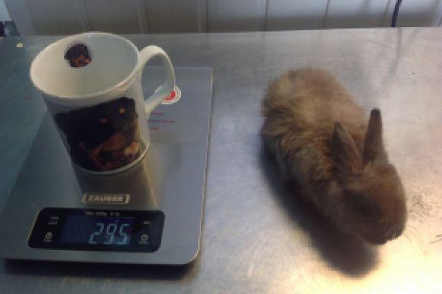 Кролик весит меньше кружки и легко в нее помещается.