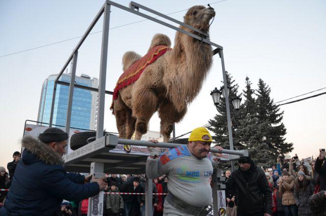 Эльбрус Нигматуллин уже использовал в своих выступления животных - поднимал верблюда весом 700 кг.
