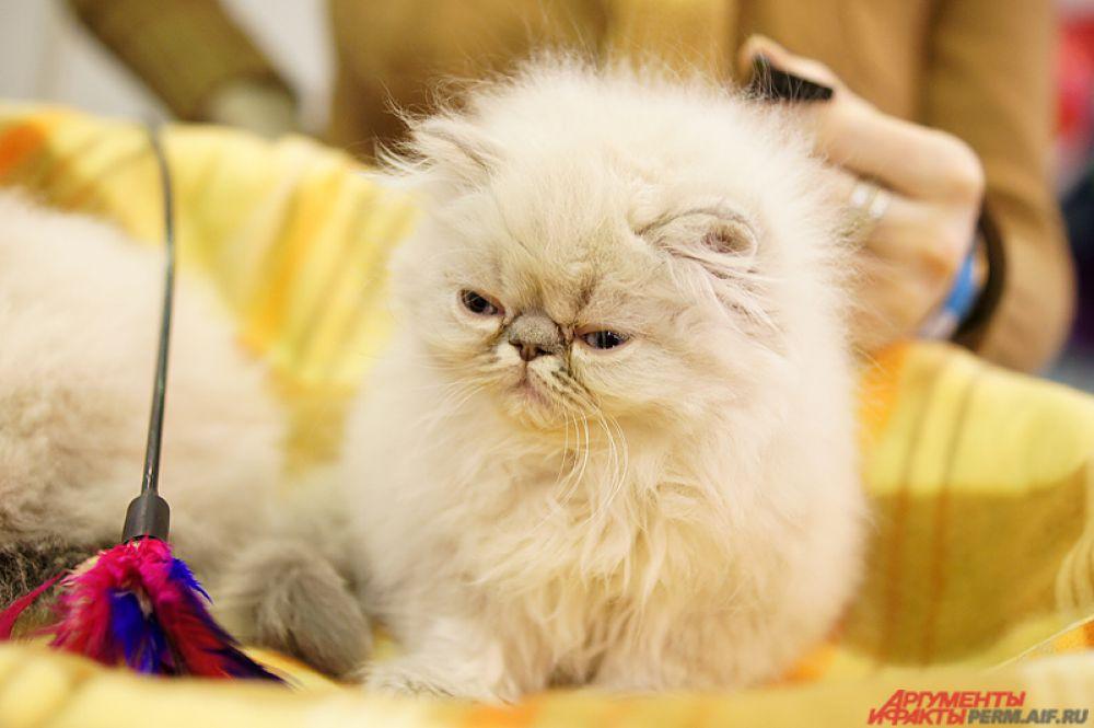 Лишь в 1980 году в России появилось общество любителей котов. Тогда и начали проходить первые выставки питомцев.