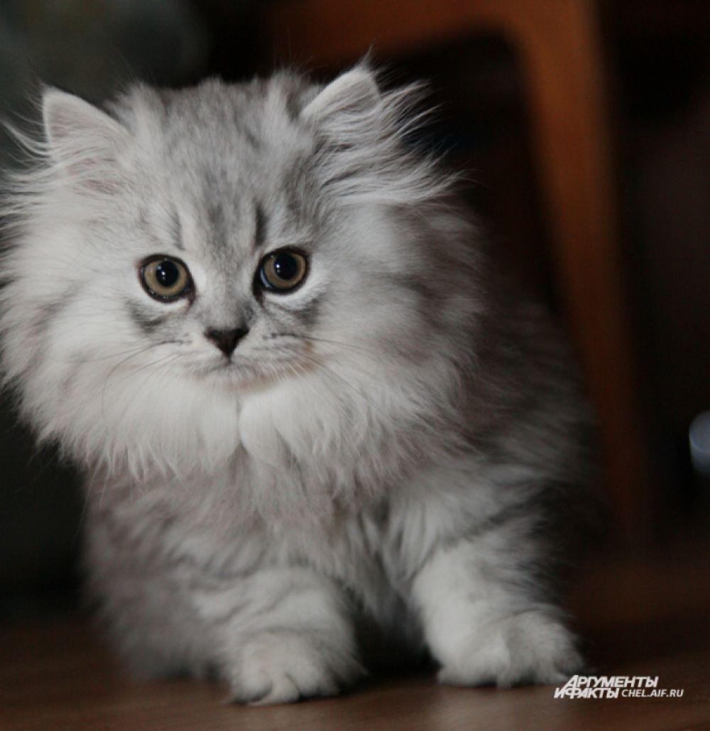 На планете проживают свыше 400 миллионов домашних кошек, причём наибольшая их концентрация наблюдается в Австралии - там на 10 жителей приходится 9 мурчащих питомцев.