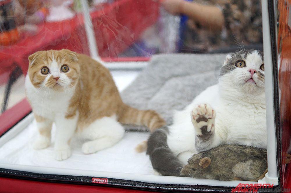 В России же разведением кошек славяне начали заниматься примерно в XII столетии.