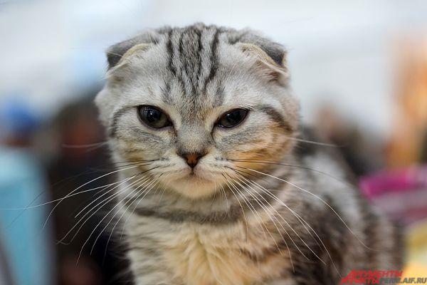 Центральными событиями становятся международные выставки кошек на территории Пермской ярмарки.