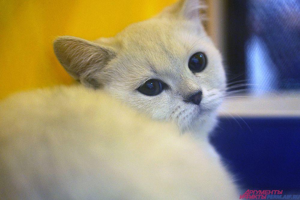 В нашем городе четвероногих очень любят. Ежегодно в краевой столице проходят десятки выставок, посвящённых кошкам.