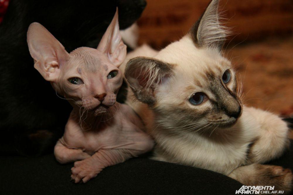 Кому-то нравятся кошки с необычным окрасом, а кому-то по душе питомцы совсем без шерсти.