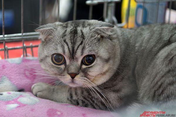 По данным организации World Cat Federation (WCF), в мире насчитывается порядка 70 кошачьих пород.