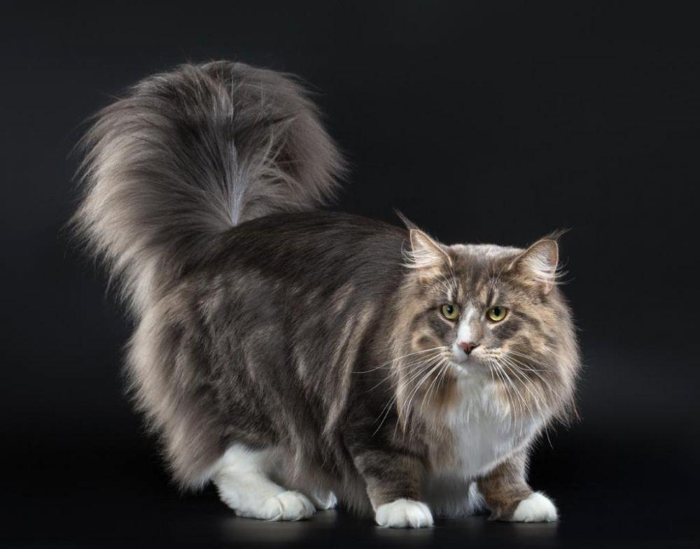 Норвежская лесная кошка. Есть и предположение, что норвежская лесная является ангорской мутацией дикой кошки, которая была завезена из Шотландии викингами
