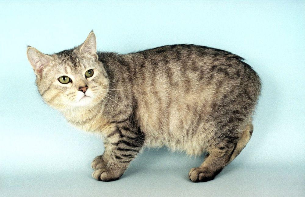 Кимрик. Бесхвостая кошка. Первые кошки породы кимрик появились на острове Мэн, который находится между английским портом Ливерпулем и Белфастом, расположенным в Ирландии