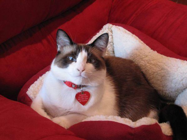 Сноу-шу. Это порода короткошерстных кошек, появившаяся в результате скрещивания пятнистой американской короткошерстной кошки с сиамским котом