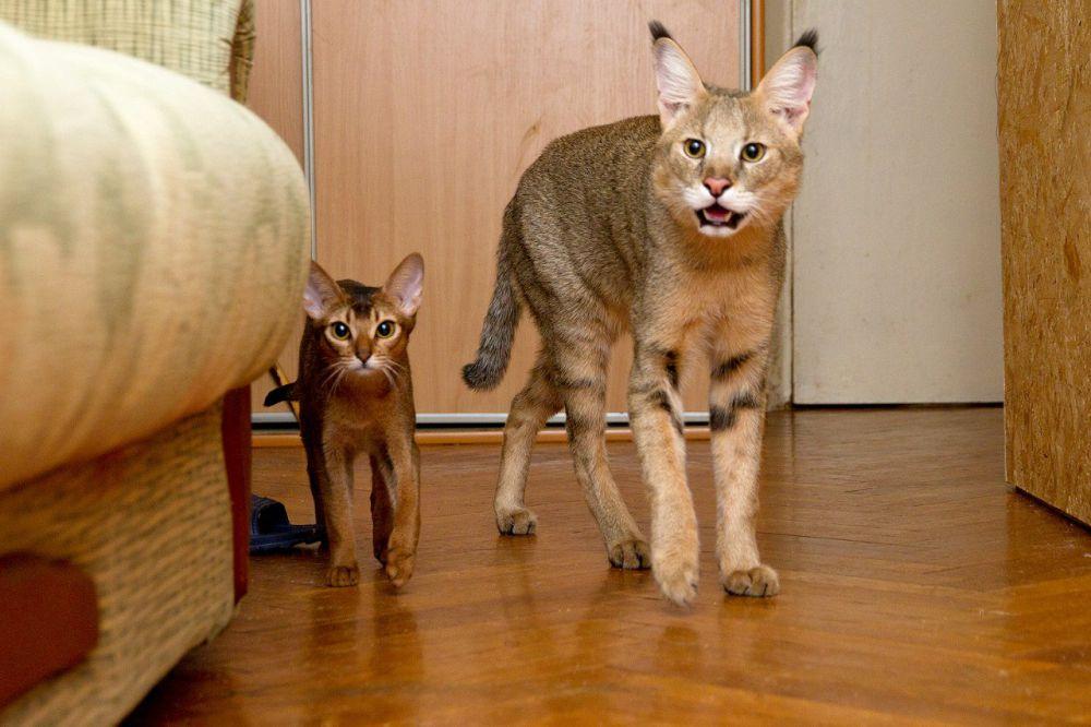 Чаузи. Одна из самых редких в мире домашних пород кошек