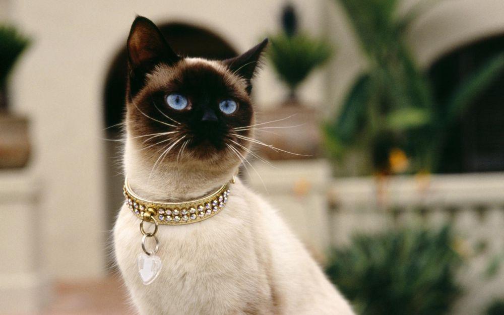 Сингапурская кошка.Она ведет свое происхождение от уличных, бездомных кошек из Юго-Восточной Азии, а точнее — из города-государства Сингапур