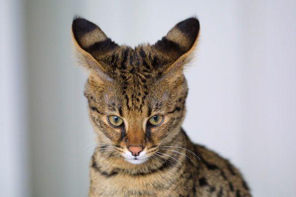 Саванна. В зависимости от класса и пола котенка цена может варьироваться от 4 до 22 тысяч долларов