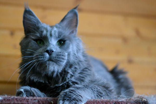 Мейн-кун. Вес взрослой кошки может достигать 15 килограммов, а длина тела - 1,3 метра