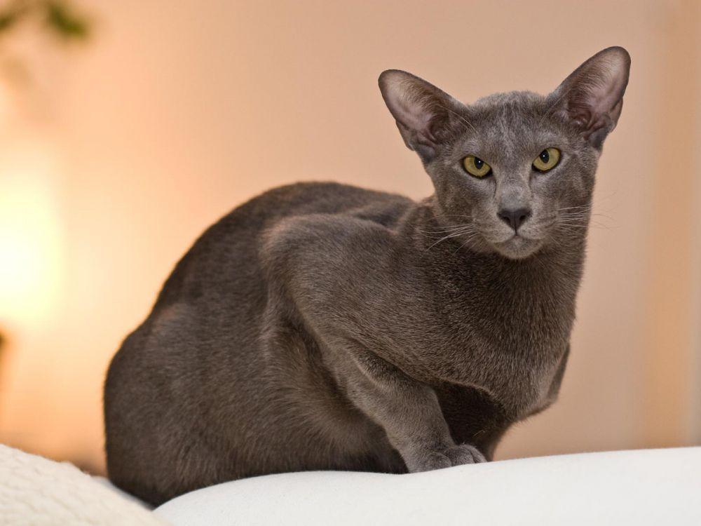 Сингапурская кошка.Взрослая кошка в среднем весит до 2 килограммов, кот — от 2,5 до 3 килограммов