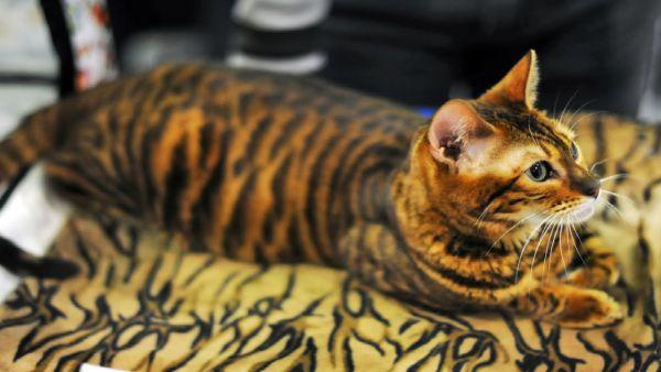Тойгер. Целью селекционеров являются долгосрочные перспективы сделать породу еще более похожей на тигров