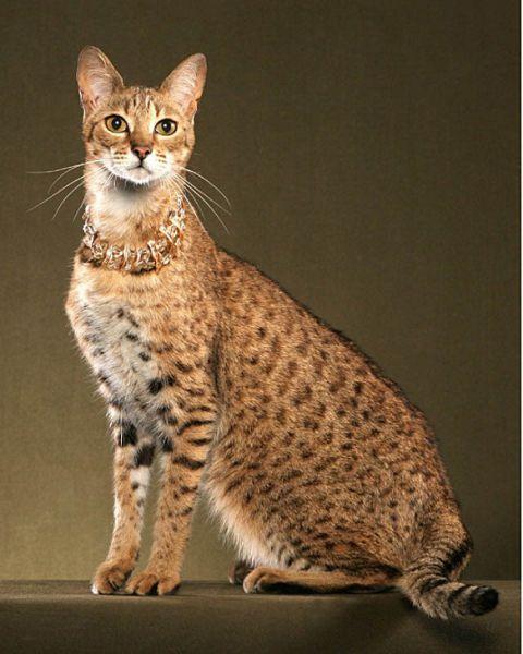 Саванна. Не только самая большая, но и самая дорогая из пород кошек, выведенная путем гибридизации африканского сервала и домашней кошки