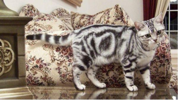 Американская короткошерстная. Эти кошки очень дружелюбны к людям, их детям, а так же без проблем уживаются с другими животными в доме.