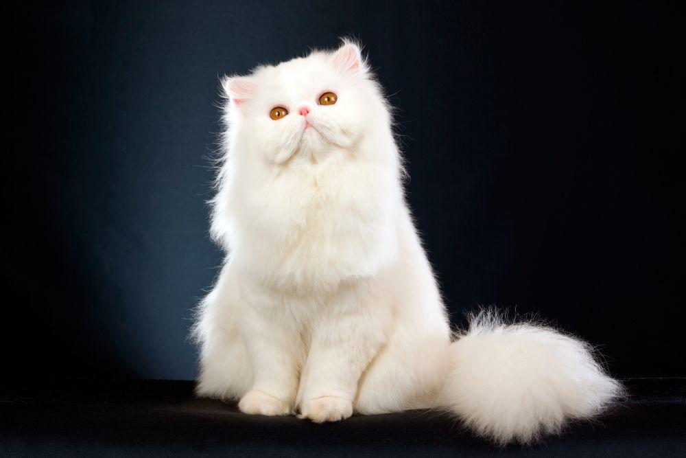 Персидская кошка. Это одна из красивейших кошек в мире