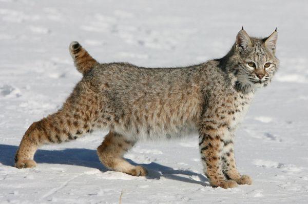 Пикси-боб. Искусственно выведенная в США порода кошек, создатели которой добивались, чтобы домашняя кошка максиально походила внешне на рыжую рысь