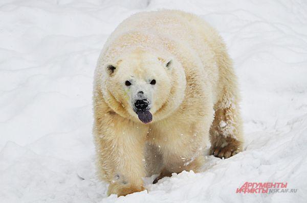 Из берлоги Герда стала выходить в феврале, когда потеплело. Фотографы окружили вольер и по несколько дней дежурили, ждали когда выйдет медвежонок.