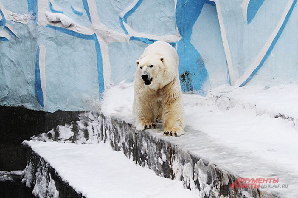 Кая опять перевели на режим жизни холостяка. Ведь известно, что самцы белых медведей могут быть агрессивны к своему потомству.