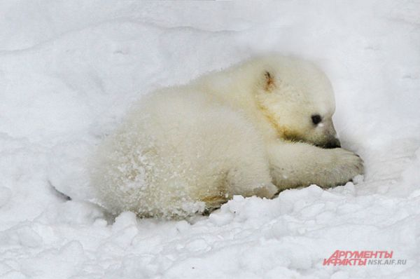 Малыш ещё совсем белый, с возрастом шерсть станет соломенного цвета.