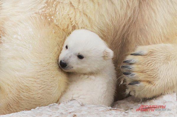 Герда помогает малышу и не отпускает. Самец или самка родился у белых медведей пока неизвестно.