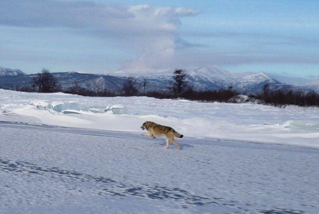 Волк на Кроноцком озере
